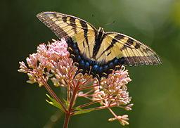 Eastern_tiger_swallowtail_Butterfly (2)